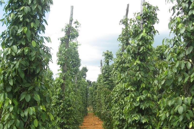 Top 10 bezienswaardigheden Kampot: Peperplantages